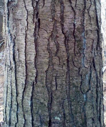 Sugar Maple Tree Bark Identification