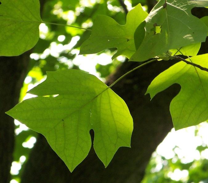 Tree Identification Si...